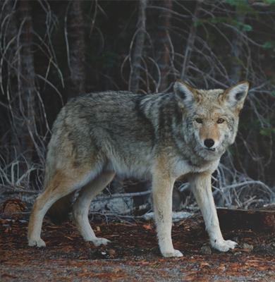 fox-1-hunting